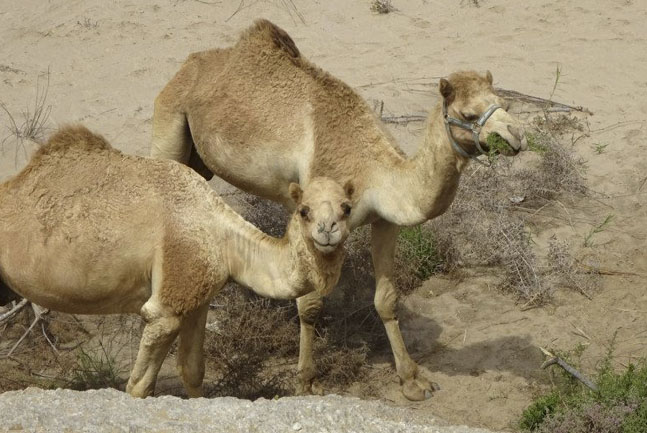 Camelride in the dunes
